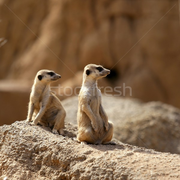 Two suricata standing alert. Stock photo © lunamarina