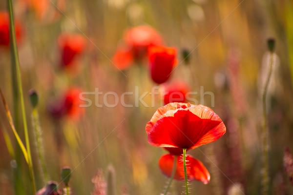 Poppies Poppy red flowers in Menorca spring fields Stock photo © lunamarina
