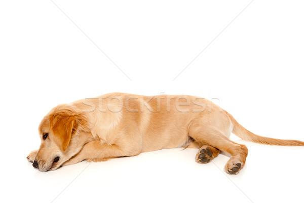 Золотистый ретривер щенков чистокровных собак изолированный белый фон Сток-фото © lunamarina
