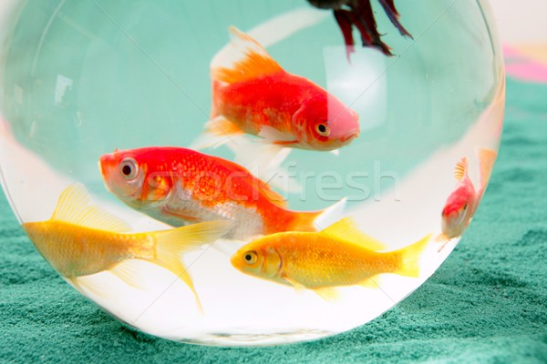 Fishes in a round glass bowl red carps green background, pets Stock photo © lunamarina