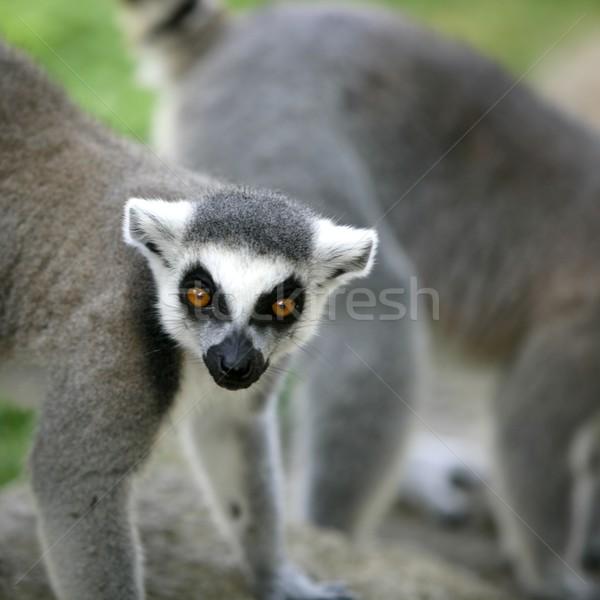 Madagascar Ring Tailed Lemur Stock photo © lunamarina