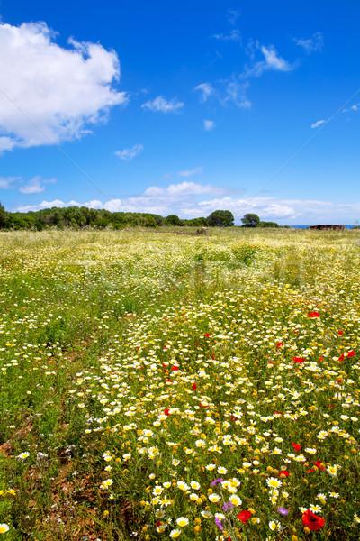Menorca spring field with poppies and daisy flowers Stock photo © lunamarina