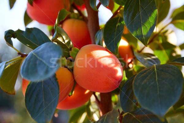 хурма плодов деревья области сельского хозяйства Испания Сток-фото © lunamarina