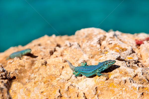 トカゲ カップル 海 眼 自然 背景 ストックフォト © lunamarina