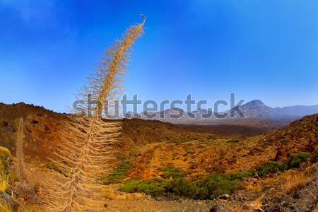 Echium wildpretii Red Tanajiste Rojo in Teide Tenerife Stock photo © lunamarina