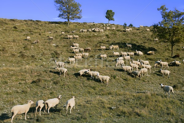 Flock of sheep in mountain side in a sunny  day Stock photo © lunamarina