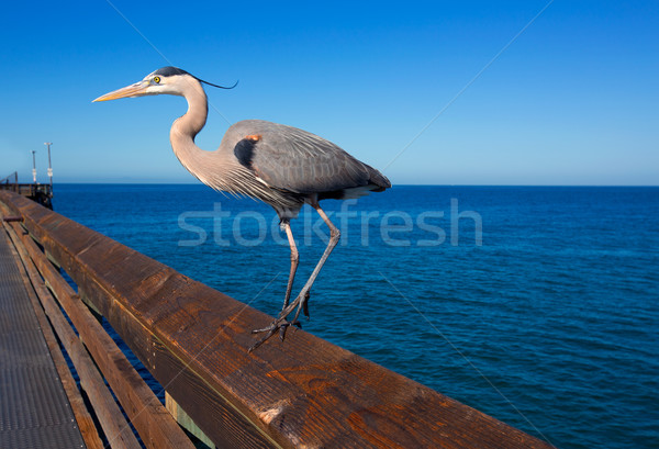 Blue Heron Ardea cinerea in Newport pier California Stock photo © lunamarina