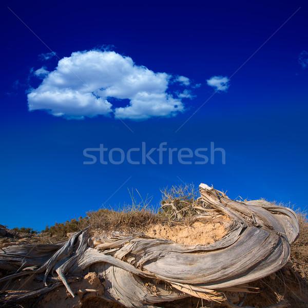Mediterranean twisted dried juniper trunk in Formentera Stock photo © lunamarina