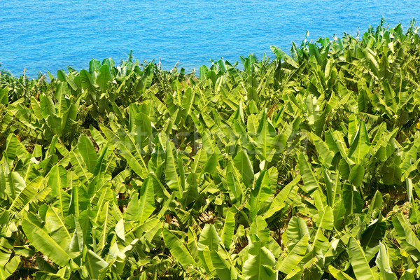 Banana plantation near the ocean in La Palma Stock photo © lunamarina