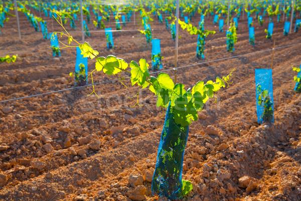 畑 赤ちゃん ブドウ ブドウ 地中海 ストックフォト © lunamarina