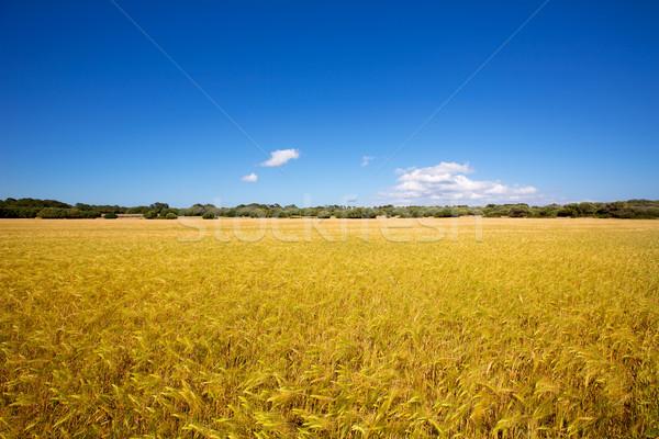 Menorca golden wheat fields in Ciutadella Stock photo © lunamarina