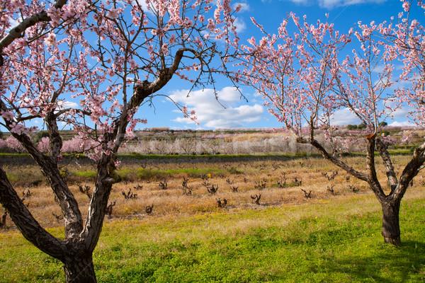 Bahar badem ağaç çiçekler güneş manzara Stok fotoğraf © lunamarina