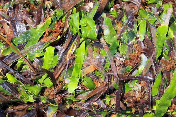 algae seaweed posidonia oceanica dried and green Stock photo © lunamarina