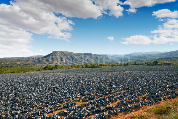 Kool veld Valencia Spanje voedsel landschap Stockfoto © lunamarina