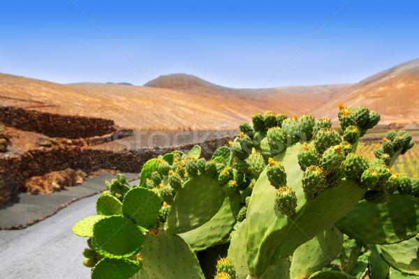 Cactus Nopal in Lanzarote Orzola with mountains Stock photo © lunamarina
