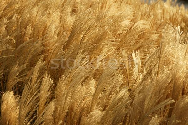 Golden spikes grass crop background  pattern Stock photo © lunamarina