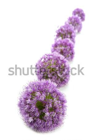 Onion purple flower macro row on white Stock photo © lunamarina