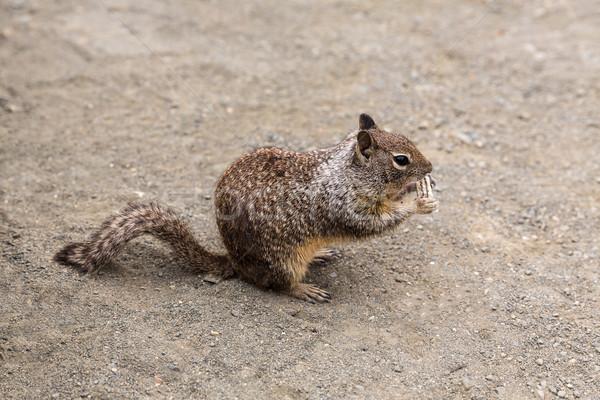 California suelo ardilla comer turísticos galleta Foto stock © lunamarina