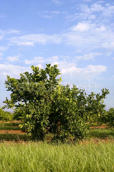 Narancsfa mediterrán mező Spanyolország fa természet Stock fotó © lunamarina