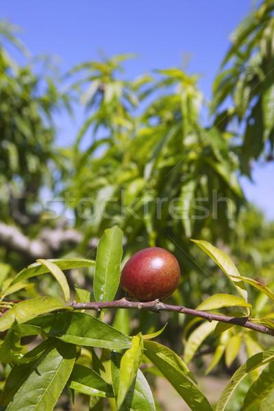 Nectarine Peach arbre croissant printemps ciel bleu Photo stock © lunamarina