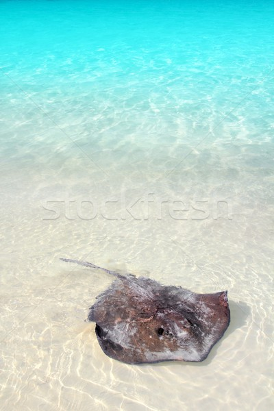 stingray Dasyatis americana in Caribbean beach Stock photo © lunamarina