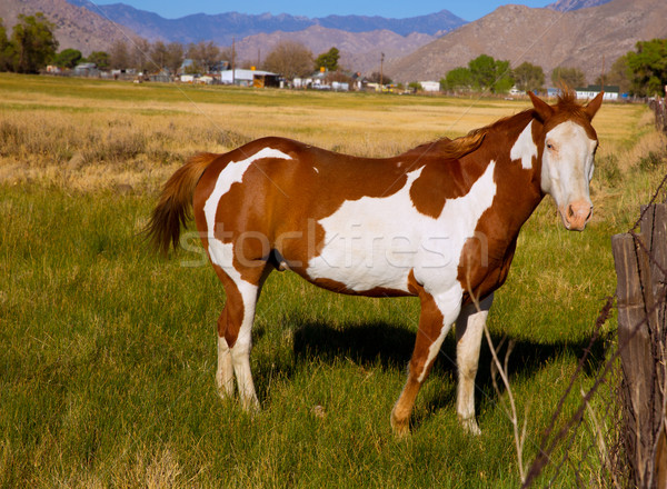 California pinto paint horse in farm Stock photo © lunamarina