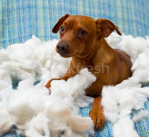 Stock fotó: Huncut · játékos · kutyakölyök · kutya · harap · párna