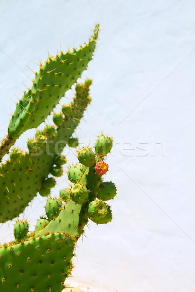 chumbera nopal prickly pear fruits Stock photo © lunamarina