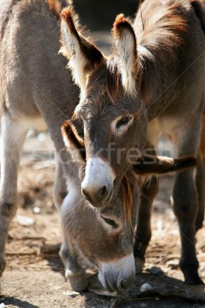 Donkeys couple portrait  Stock photo © lunamarina