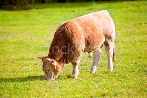 Cows grazing in Pyrenees green autumn meadows at Spain Stock photo © lunamarina