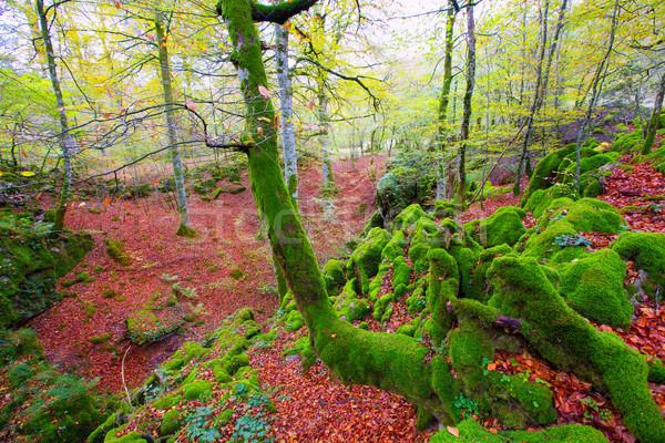 Outono selva Espanha cair textura árvore Foto stock © lunamarina