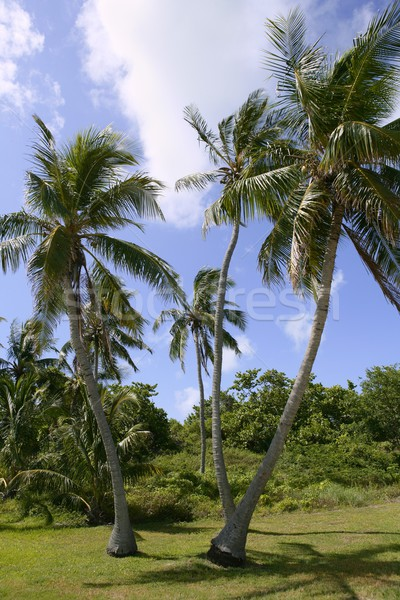 Florida Keys tropical palm trees on blue  sky Stock photo © lunamarina