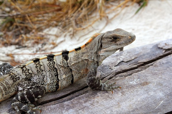 Iguana in Mexico on aged gray wood near beach Stock photo © lunamarina