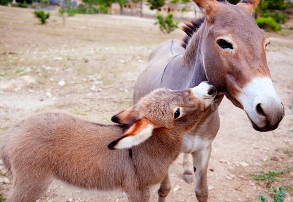 Baby donkey mule with mother Stock photo © lunamarina