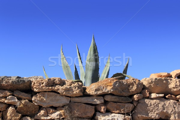 Agave Средиземное море завода каменной стеной за кирпичная кладка Сток-фото © lunamarina