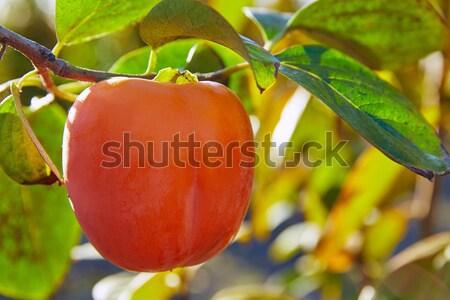 persimmon khaki fruit in the tree with leafs Stock photo © lunamarina