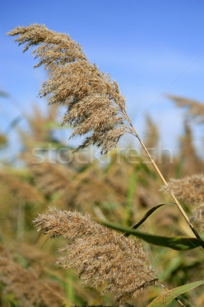 Cane grasses spikes from river under blue sky Stock photo © lunamarina