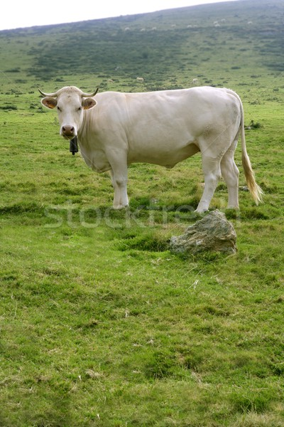 Beige cows cattle  eating in green  meadow Stock photo © lunamarina