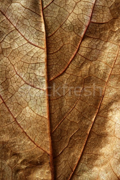 Close up of a leaf, gloden brown in autumn Stock photo © lunamarina