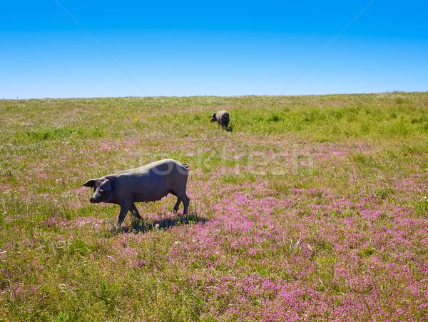 Cerdo iberico iberian pork in Dehesa Spain Stock photo © lunamarina