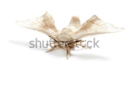 Vlinder zijde worm geïsoleerd witte twee Stockfoto © lunamarina