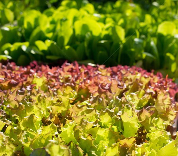 endive lettuce vegetables sprouts textures Stock photo © lunamarina