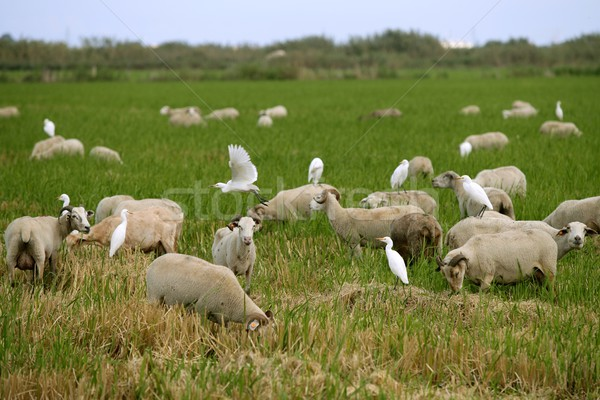 Beautiful flock of sheeps  with dipped white birds over sheep back Stock photo © lunamarina