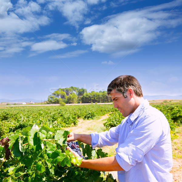 Winemaker oenologist checking bobal wine grapes Stock photo © lunamarina