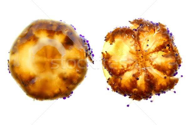 Mediterrán meduza izolált fehér felfelé lefelé Stock fotó © lunamarina