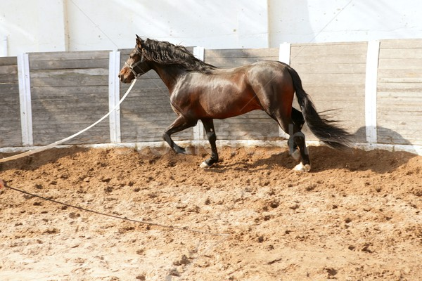Dressage horse in round arenas with rope Stock photo © lunamarina