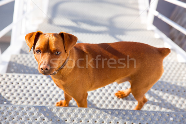 Brown dog climbing stais posing looking at camera Stock photo © lunamarina