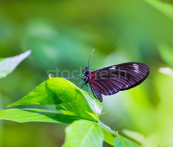 Red Postman butterfly Heliconius Erato Notabilis Stock photo © lunamarina