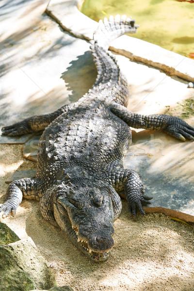 Crocodilo México sol fundo árvores verde Foto stock © lunamarina