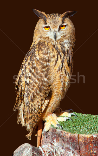 Eagle owl nuit oiseau brun portrait animaux Photo stock © lunamarina
